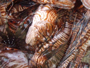 Freshly-speared lionfish ready to be catapulted into Blacktip Island's community garden.