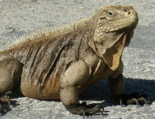 Blacktip Island rock iguanas will chase petty criminals to honor St. Dervil, the island's patron saint of scuba diving and iguana husbandry.