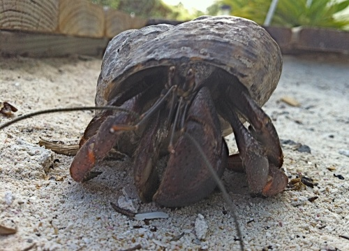 Neville the hermit crab is Blacktip Island's new mayor. Neville's know-nothing, do-nothing policies appealed to local environmentalists as well as to the island's crustaceans.