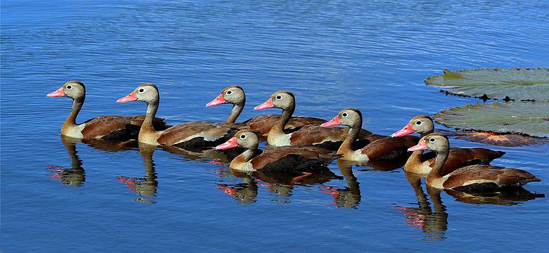 800px-Black-bellied_whistling_ducks_(Dendrocygna_autumnalis)