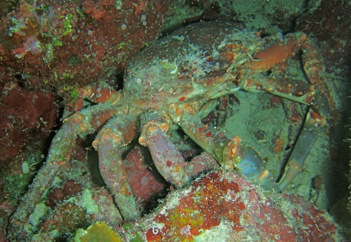 Genetically-modified channel crabs, escapees from Cuban biological labs, are now protecting Blacktip Island's marine parks.