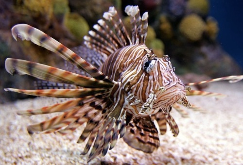 A free-range Indo-Pacific lionfish readies for a day's work at Blacktip Haven's new Lionfish Beauty Spa. (photo courtesy of NPR)