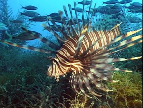 A free-range Indo-Pacific lionfish readies for a day's work at Blacktip Haven's new Lionfish Beauty Spa. (photo courtesy of Paula Whitfield)