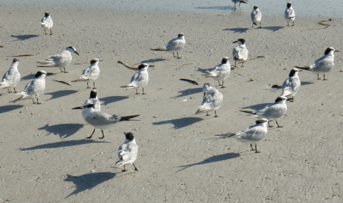 Blacktip Island scuba resorts now allow emotional support animals, such as these sandwich terns, to dive with their people.