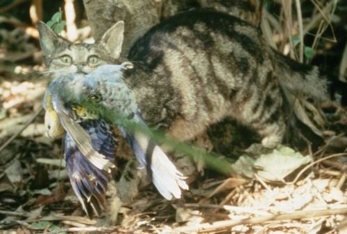 Blacktip Island officials are concerned a rise in feral cat numbers on the Caribbean island will devastate native wildlife and cause a health crisis. (photo courtesy Brisbane City Council)