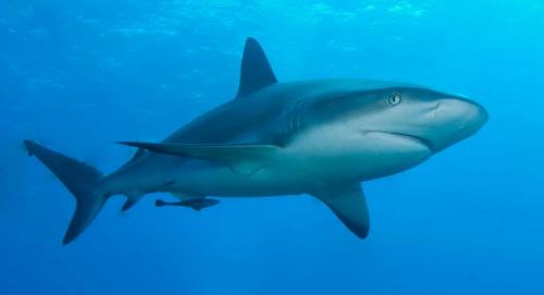 shark-diver