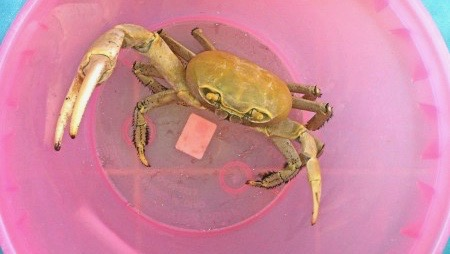 Easter crab