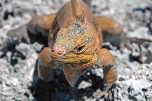 iguana yoga