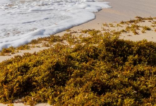 sargassum collector