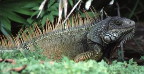 iguana culling