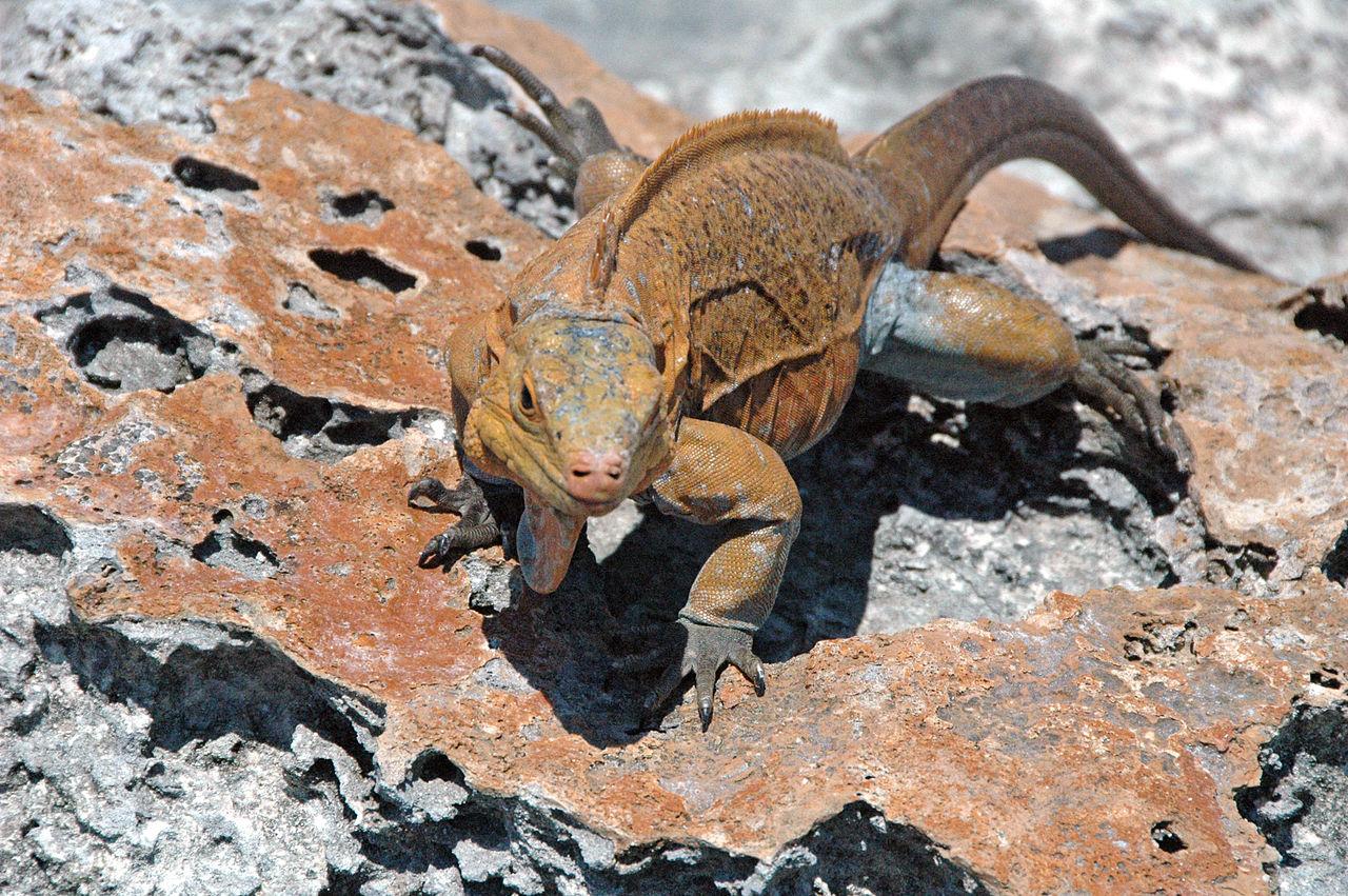 iguana in PO