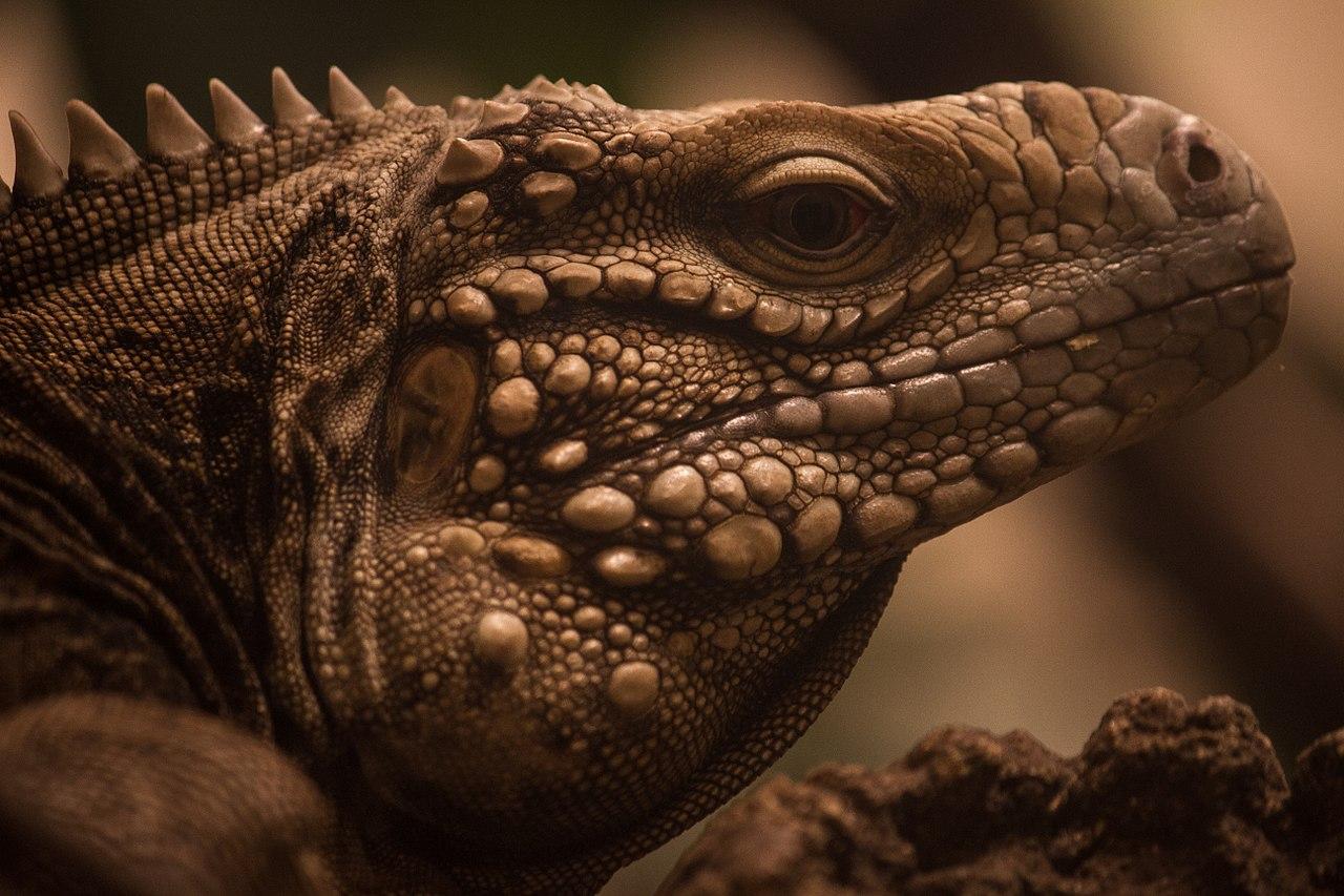 iguana races