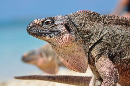 flying iguanas
